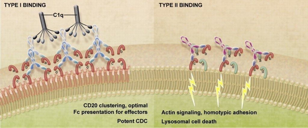 Type 2 antibodies mechanism