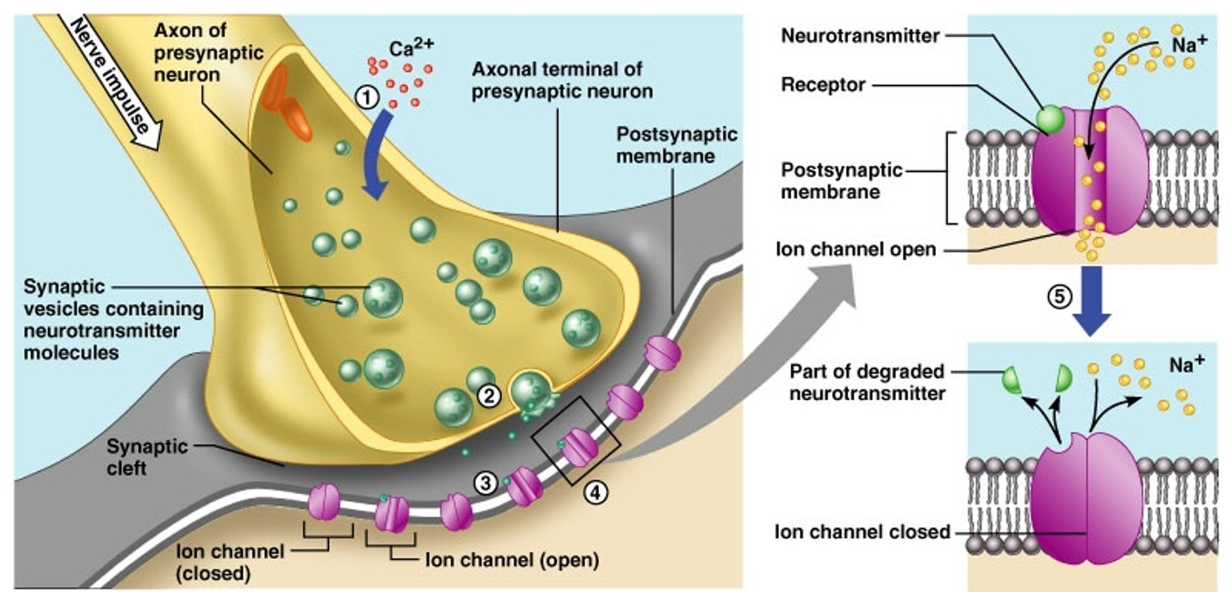 Electrochemical synapse