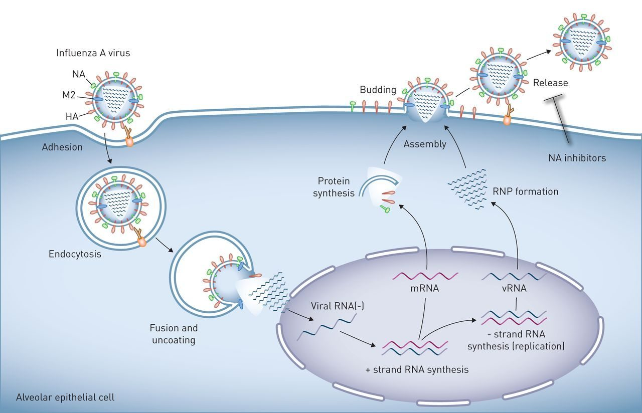 influenza cell entry