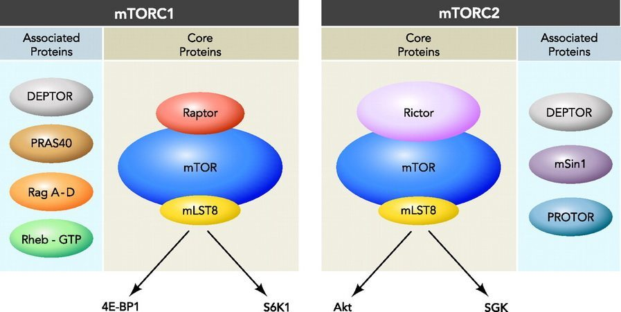 mTOR complexes