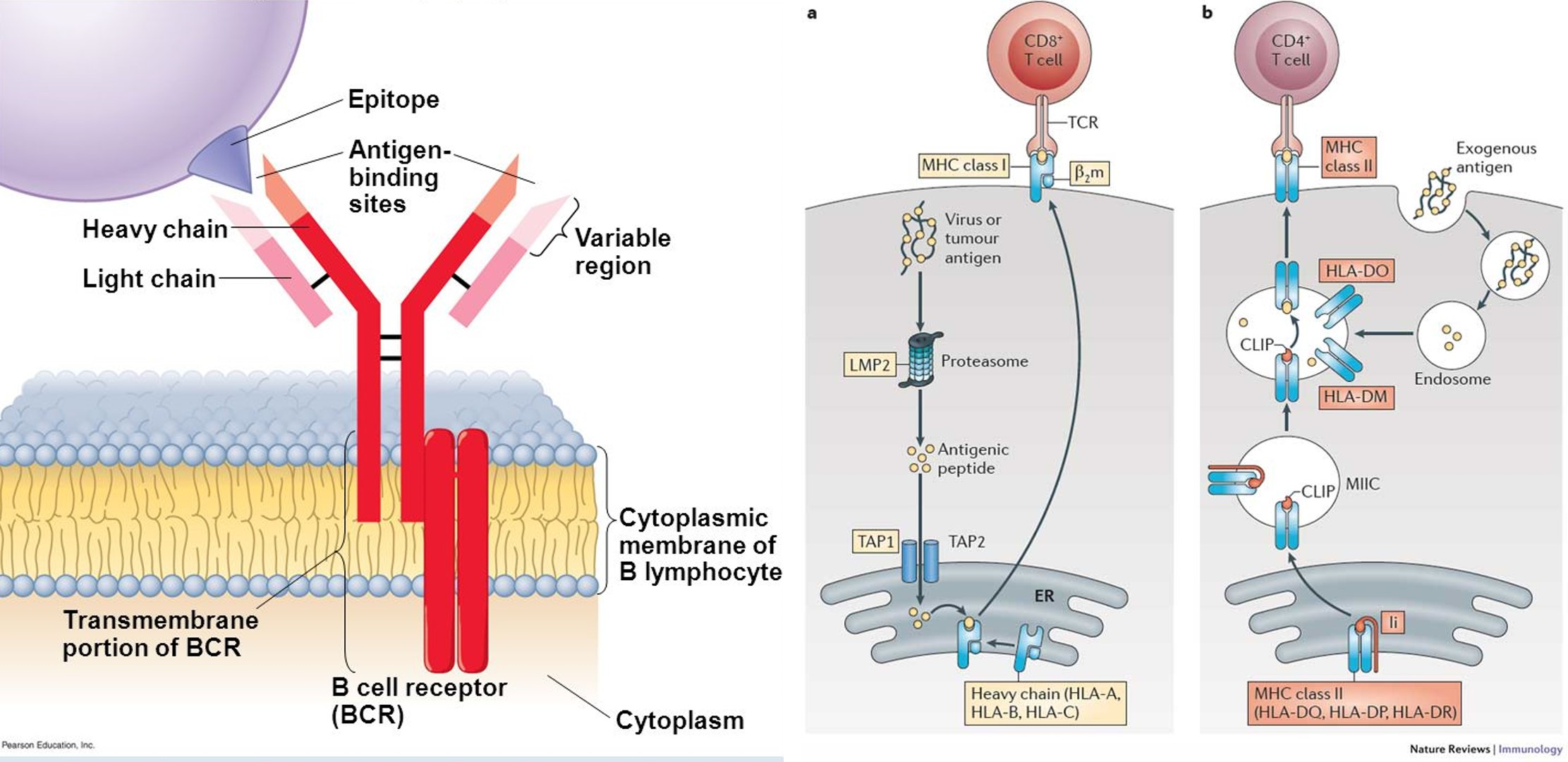 lymphocyte-receptor