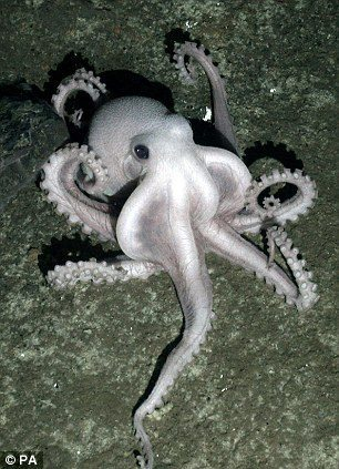 Sleeping octopus