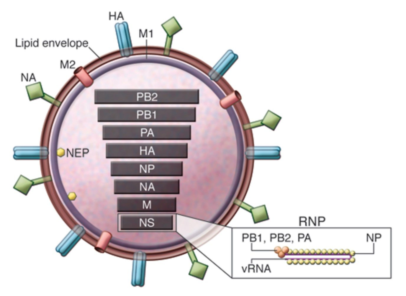 Influenza virus particle